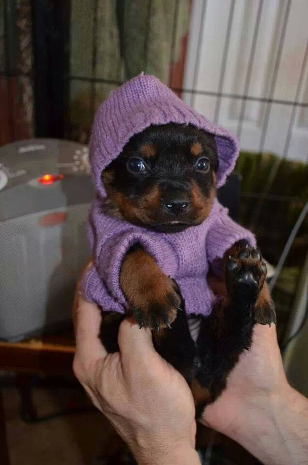 And this little rottie who is all cozy in her sweater.