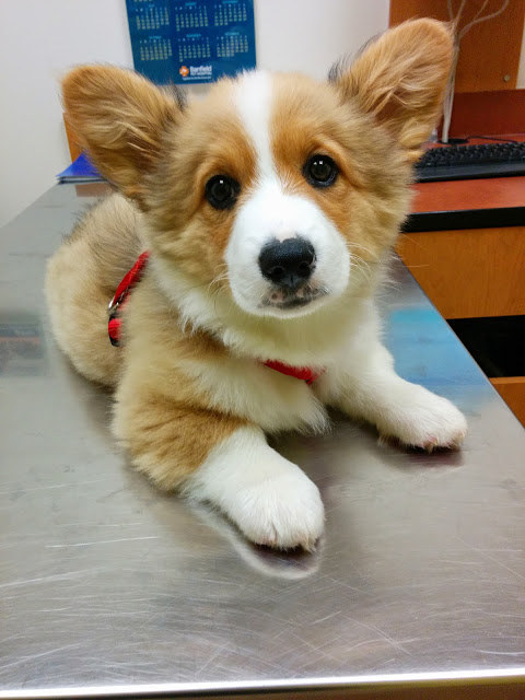 This corgi who has the cutest face in the universe.