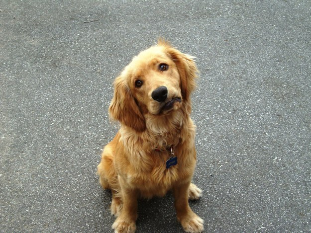 This golden retriever pup who has the cutest confused face ever.