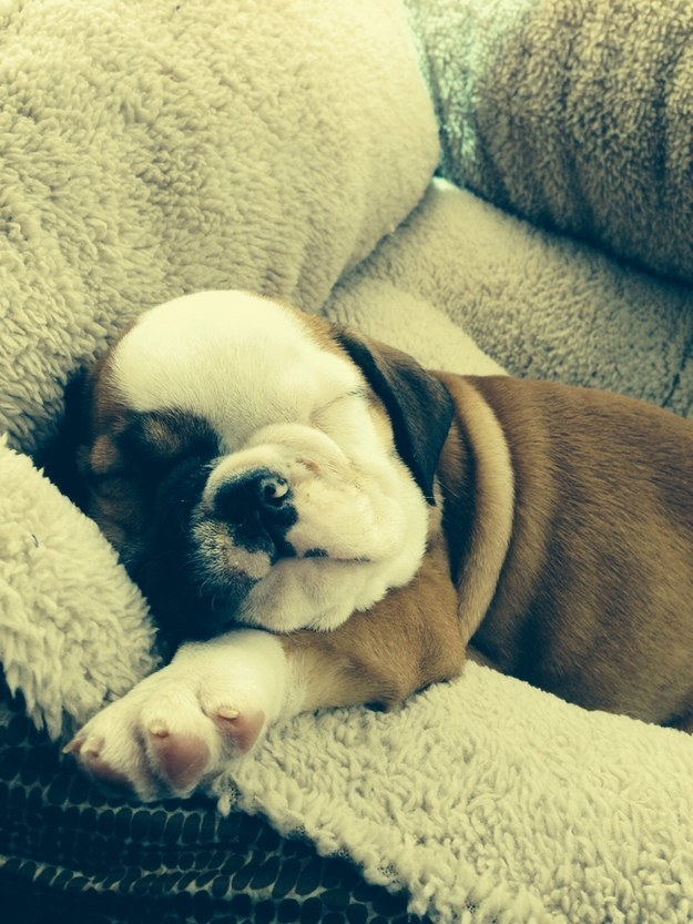 And this wrinkly snuggler who hasn't grown into his dog bed yet.
