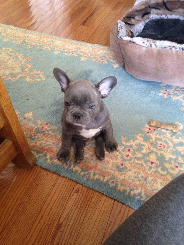 This French bulldog pup who hasn't grown into her ears yet.
