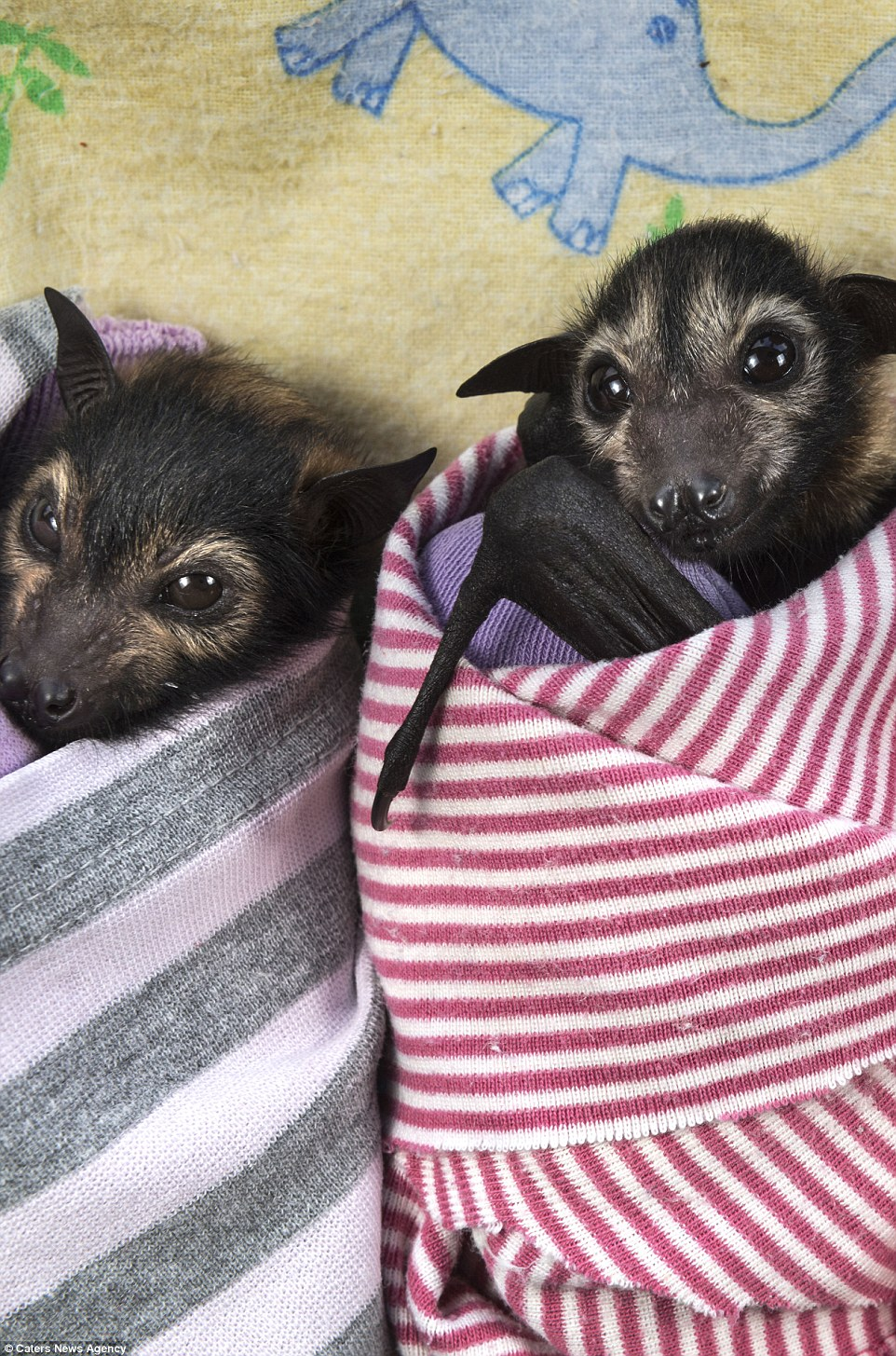 The furry critters can be seen swaddled in colourful blankets while they star innocently at the camera