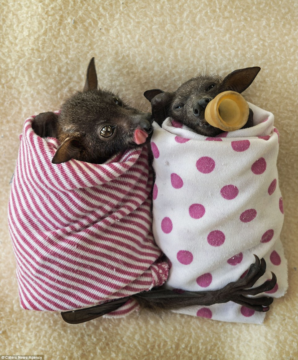 According to the Tolga Bat Hospital's website: 'caring for sick or young animals is like caring for sick or young humans, many tasks are very repetitive but your love and respect for the animals will make it very rewarding.