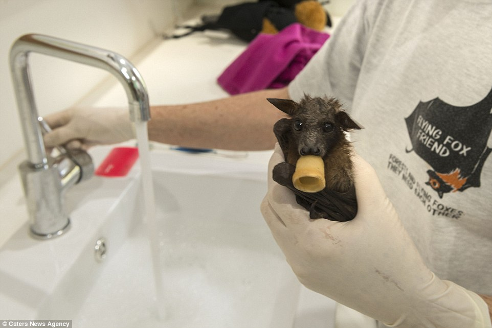The hospital has a constant stream of injured bats coming to them every day