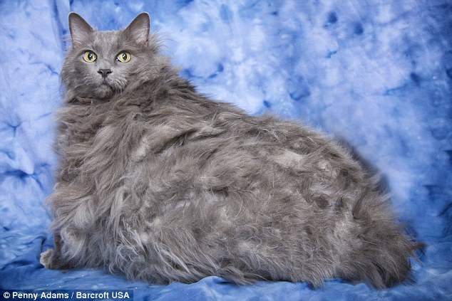 Passed on: King Leo, a cat who weighed 30lbs when he was found on the side of a road this summer, has died