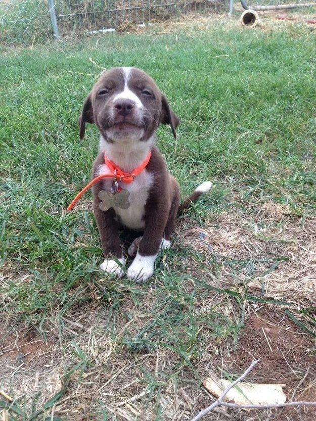 This proud pit puppy.