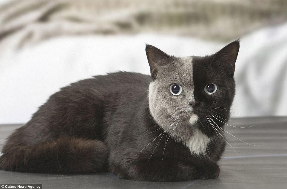 Two Faces Cat: British shorthair with a black and grey face
